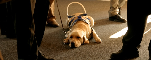 guide dog laying on floor waiting